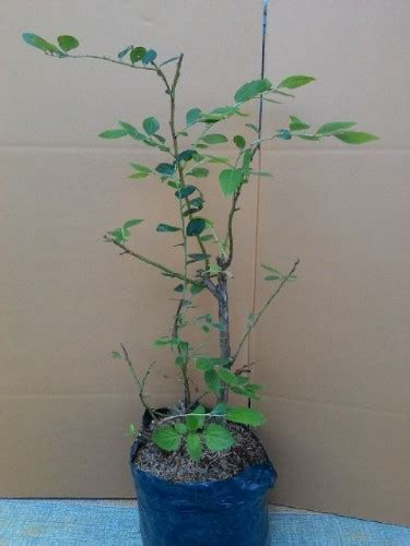 Harga Bibit Blueberry jual bibit tanaman blueberry 50 60 cm hidup bibitbunga