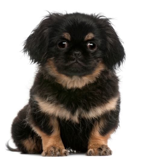 why do dogs hump their bed why do female dogs hump know your pekingese s behavior