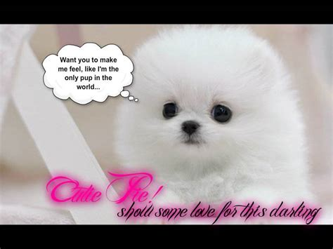 adorable pomeranian puppies cutest white pomeranian puppy dogs picture