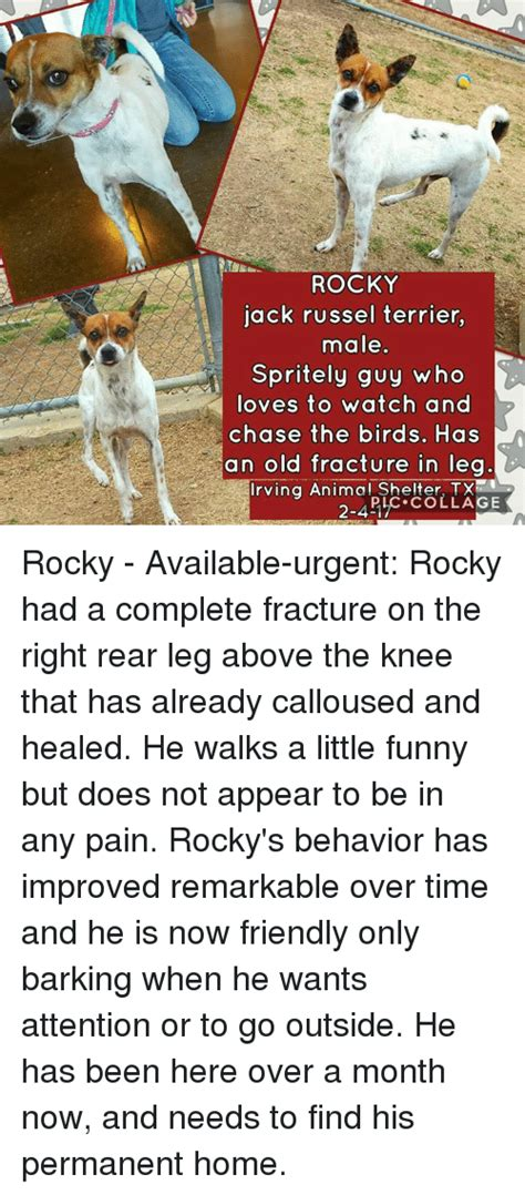 not a good time to buy a house rocky jack russel terrier male spritely guy who loves to