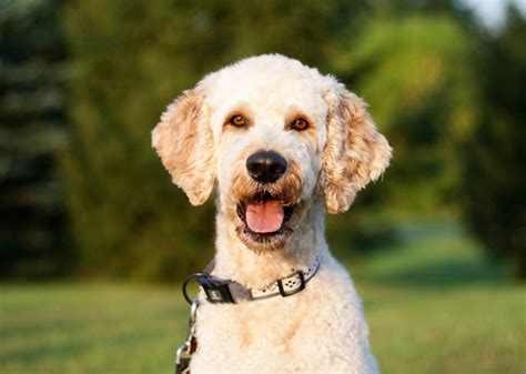 doodle puppy types fascinated with doodle or oodle dogs here are the top 5