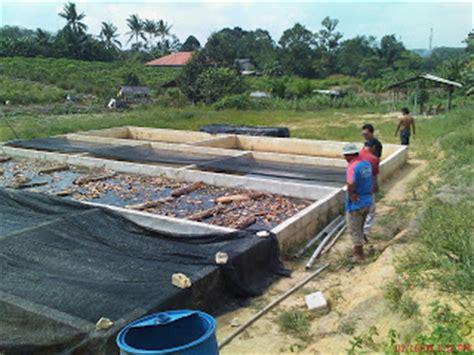 Benih Serai Johor rf agrofarm projek kedua ternak ikan keli