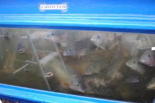tilapia breeding kits 171 aquaponics and earth