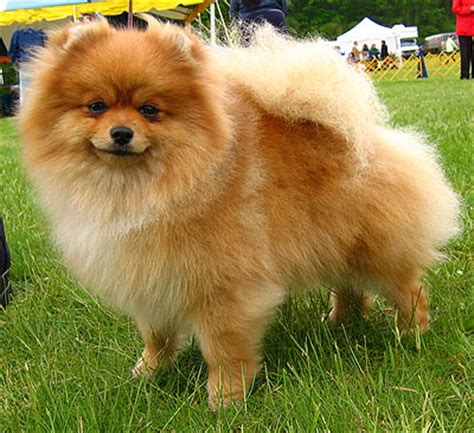 pomeranian pics dogs pomeranian breeds encyclopedia dogs in depth