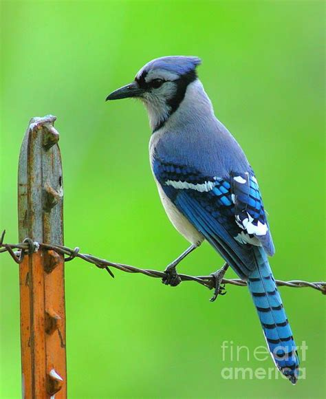 117 best images about blue jays one of my favorites love
