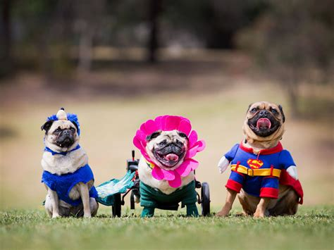 pug rescue kansas city 29 of the most amazing news photos from this week