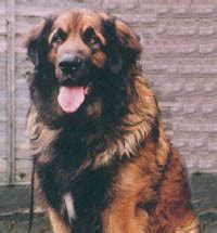 leonberger puppies cost leonberger breed profile petplanet co uk