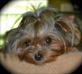 best shoo for yorshireterrierpuppies best 25 yorkshire terrier for sale ideas on pinterest