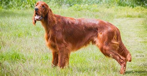 irish setter working dog about irish setters as an assistance dog breed