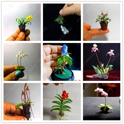 100 pcs bag rare mini orchid seeds phalaenopsis orchid