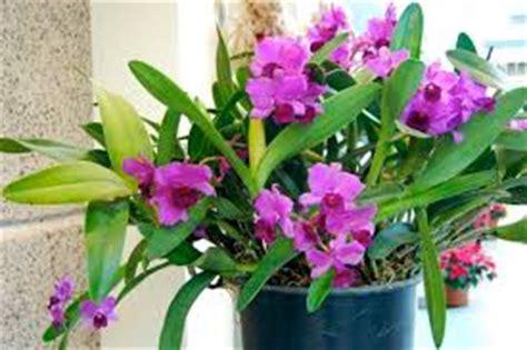 Tanaman Hias Anggrek Tanah Ungu perawatan tanaman anggrek secara benar tanaman bunga hias