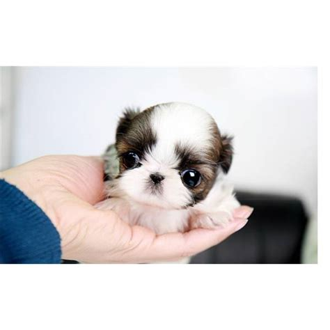 teacup maltese shih tzu my sis n needs one of these lol teacup shih tzu my style teacup