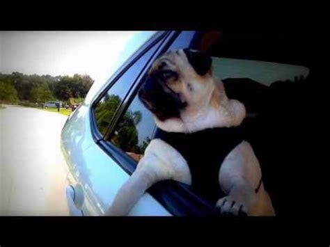 pug driving car hqdefault jpg
