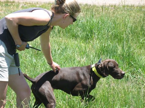 how to your with an e collar e collar dogs