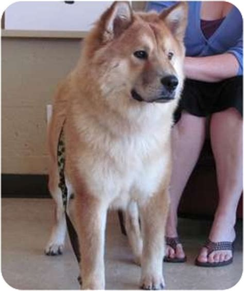 Walnut   Adopted Dog   1305   Houston, TX   Chow Chow