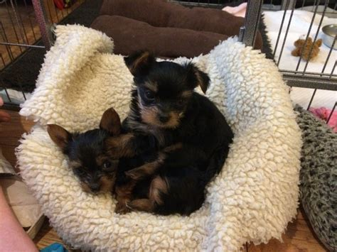 yorkie puppies for sale ma terrier puppies for sale massachusetts avenue ma 196523