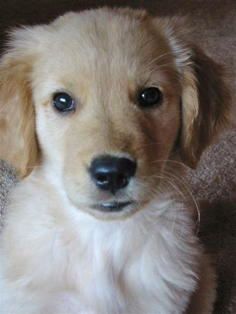 golden retriever pregnancy timeline 61 best images about i golden retrievers on to find out puppys