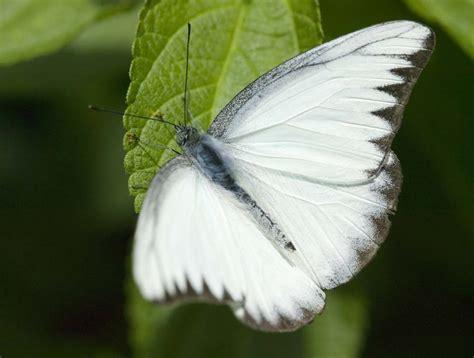imagenes de mariposas negras y blancas mariposas blancas pablo anad 243 n sarain 233 s kasdan