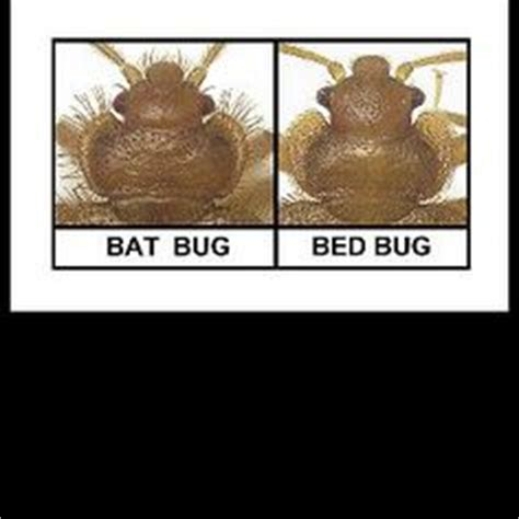 bat bug vs bed bug 1000 images about patrick s pest control on pinterest