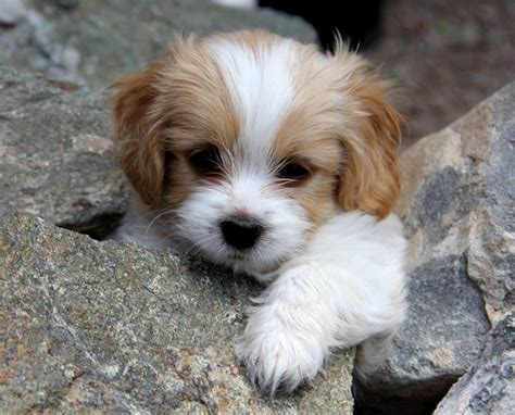 puppy breed cavachon bichon king charles mix info temperament puppies pictures