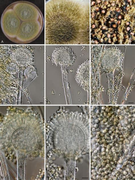 aspergillus section flavi aspergillus oryzae rib 40 a c colonies incubated open i