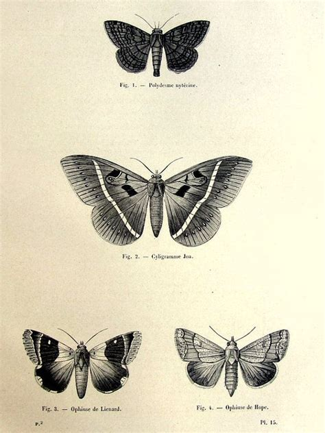 tattoo butterfly vintage 1860 original moths print antique butterfly engraving