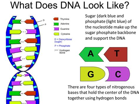 making light the sugar problem genetic information dna rna to protein ppt video
