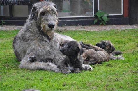 wolfhound puppy wolfhound puppies for sale wolfhound puppies