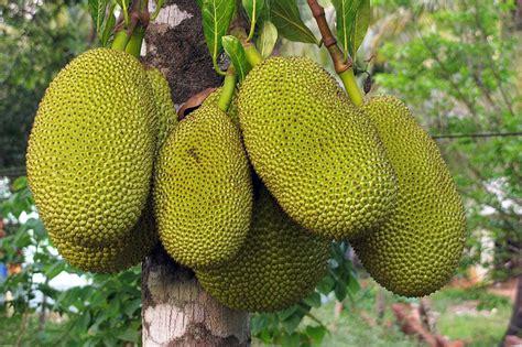 protein jackfruit jackfruit amazing protein packed superfruit corner