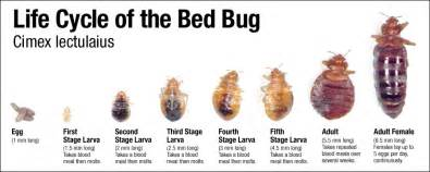 disease outbreak division bed bugs