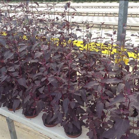 orach red fairbanks seeds