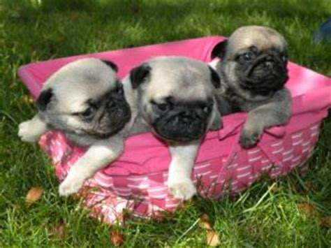 pugs for sale in michigan pug puppies for sale