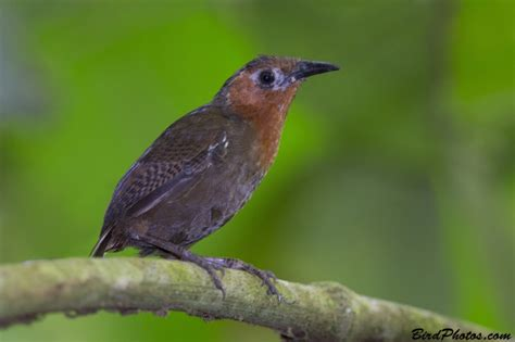 house wren song an introduction to the birds of tropical america wrens