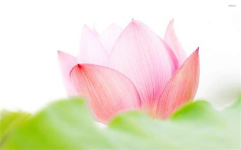 lotu s pink lotus flower wallpaper flower wallpapers 53170