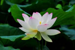 White Lotus Flower Overcoming Obstacles Master Your Mind The Tao Of