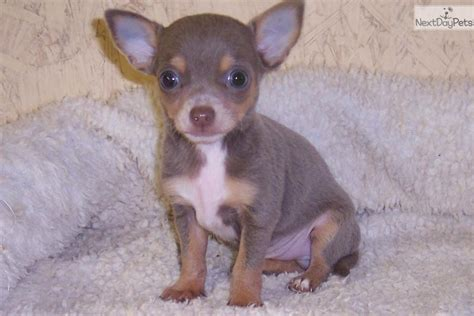 chihuahua puppies houston chihuahua puppies chihuahua puppy for sale in houston tx breeds picture