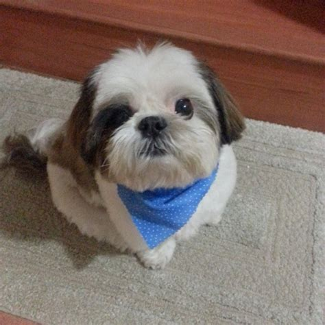 shih tzu breeders in miami florida breeder shih tzu puppies