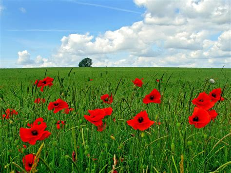 field of flowers pictures free wallpapers poppy flowers desktop wallpapers