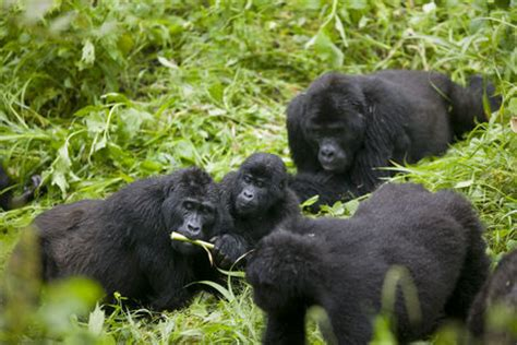 amazon rainforest animals gorilla quot mountain gorilla troupe gorilla gorilla beringei in