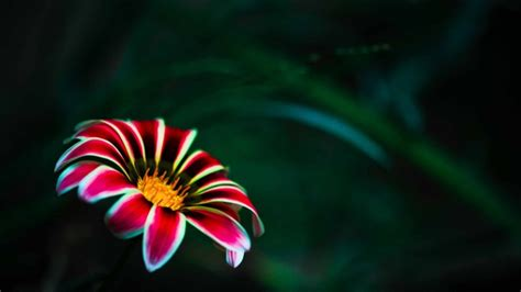 flower wallpaper for macbook pro flower with red petals mac wallpaper download free mac