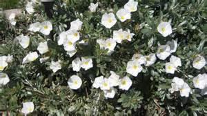 bush morning glory plant 4k wallpaper wallpapers 4k 5k 8k