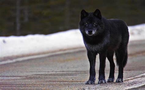 black wolf black wolf wallpapers images photos pictures backgrounds
