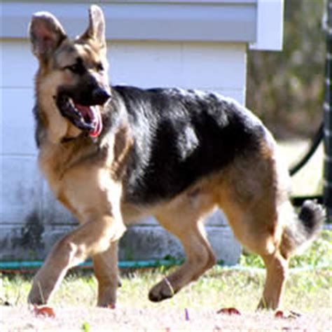rottweiler names and meanings german shepherd names meaning guardian photo