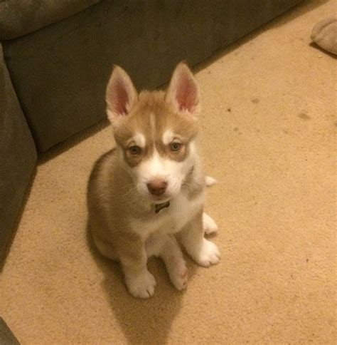 scratching no fleas puppy scratching no sign of fleas siberian husky questions husky owners the