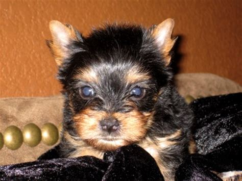 standard yorkie images of standard size yorkies yorkie breeder baby doll breeds picture