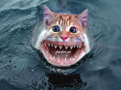 shark cat funny style wallpaper free wallpapers