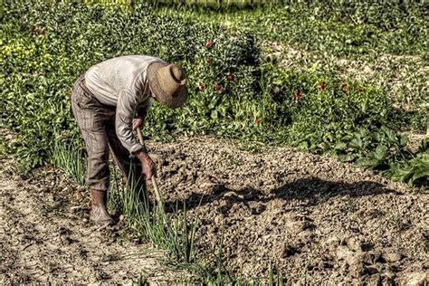 piantare patate in vaso piantare patate ortaggi come piantare le patate