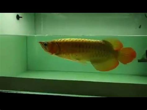 Perkutut Teratai Ikan Arwana ikan arwana arwana banjar arwana brazil