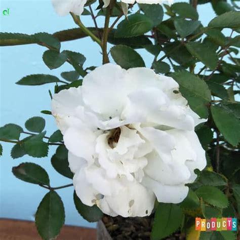 beli disini mawar rambat bunga putih  kuncup ibad