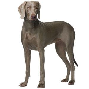 grey puppy names weimaraner breed 187 information pictures more